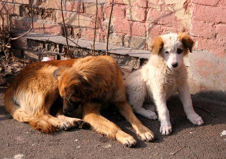 Due cani randagi.