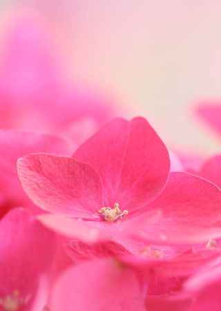 Close-up of hydrangea Stock Photo - 7582558