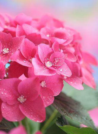 Close-up of hydrangea Stock Photo - 7582565