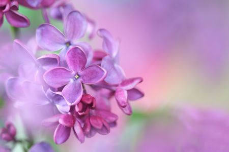 Makro lilac;