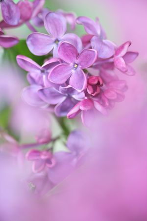 Close-up of lilac; photo