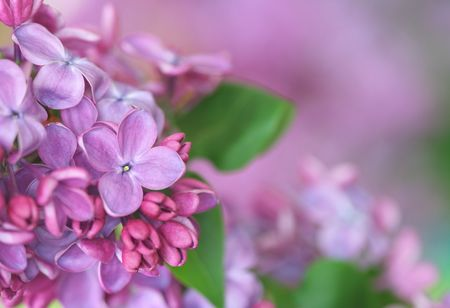 Close-up of lilac; Stock Photo - 7736271