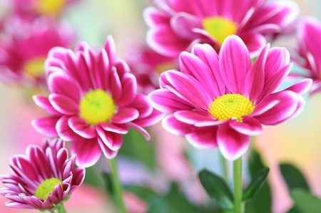 Close-up of  chrysanthemum photo
