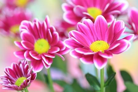 Close-up of  chrysanthemum