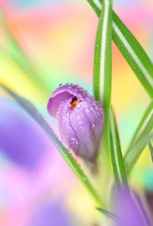 Close-up of crocus Stock Photo - 8870276