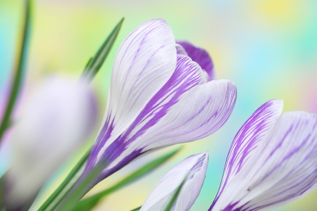 Close-up of crocus Stock Photo - 9226535