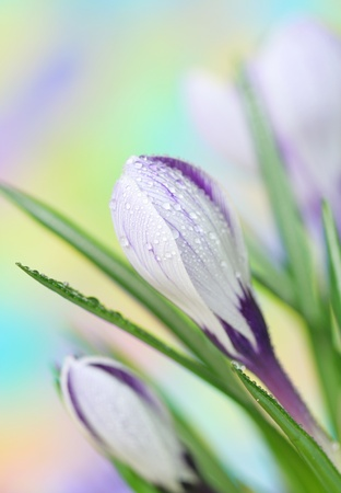 Close-up of crocus Stock Photo - 9226531