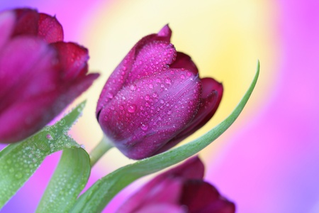 Close-up of tulip flower  photo