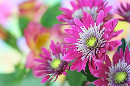 Close-up of   chrysanthemum flower Stock Photo - 9371448