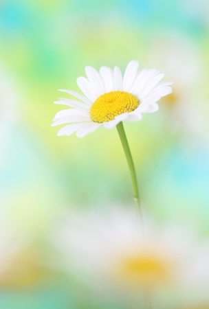 Close-up of chamomile photo