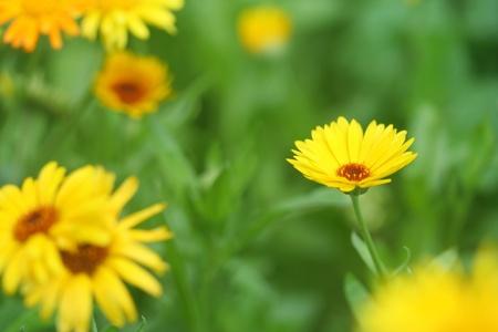 garden marigold: Close-up of  marigold Stock Photo