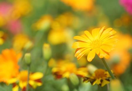 garden marigold: Close-up of  marigold flower
