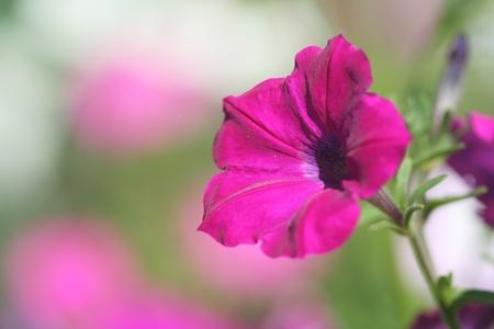 Close-up of petunia flower photo