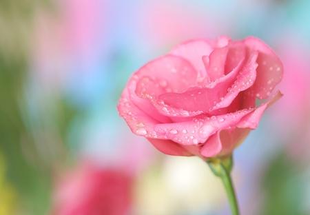 Close-up of  lisianthus flower Stock Photo - 10552536