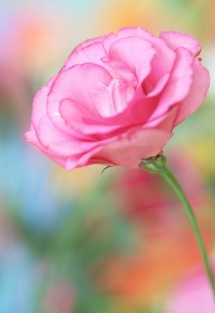 Close-up of  lisianthus flower; photo