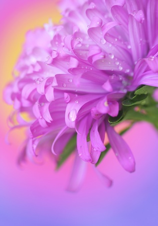 Close-up of  small drop on aster petals photo