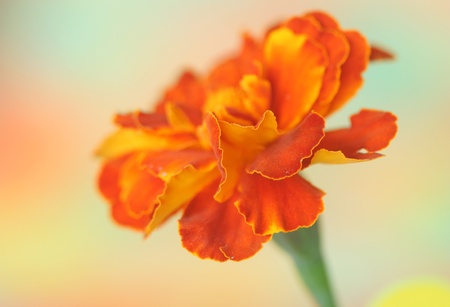 tagetes: Close-up of  tagetes flower