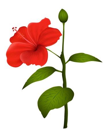 beautiful red hibiscus flower: Ilustraci�n de hibisco aislada sobre fondo blanco
