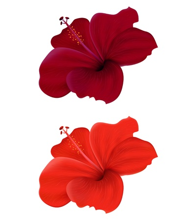 beautiful red hibiscus flower: Illustration of  hibiscus isolated on white background