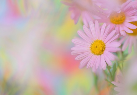 Close-up of pink chamomile photo