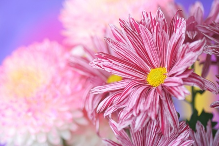 Close-up of   chrysanthemum flower photo
