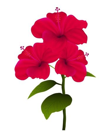beautiful red hibiscus flower: Ilustraci�n del hibisco aislados sobre fondo blanco