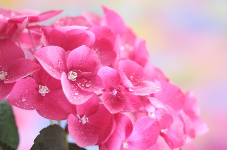 Close-up of pink hydrangea photo