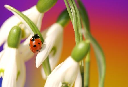 Close-up of  Ladybug on spring snowdrops photo