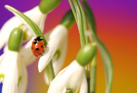snowdrop: Close-up of  Ladybug on spring snowdrops Stock Photo