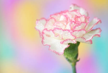 carnations: Close-up of  carnation