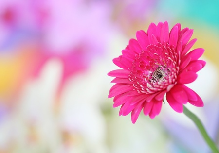 blooming: Close-up of pink gerbera on colorful background Stock Photo