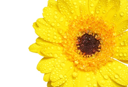 Close-up of yellow gerbera isolated on white background Stock Photo - 13246563