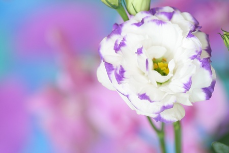 Close-up of  lisianthus flower on bright background Stock Photo - 13403046