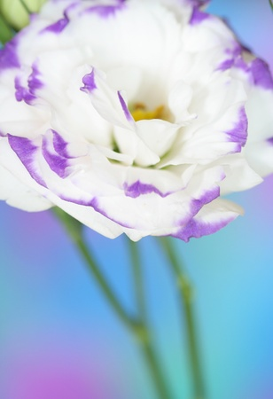 Close-up of  lisianthus flower Stock Photo - 13403022