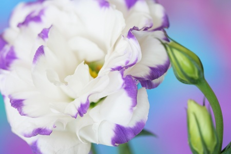 Close-up of  lisianthus flower Stock Photo - 13403048