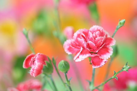 Close-up of pink carnation flower on bright colorful background
