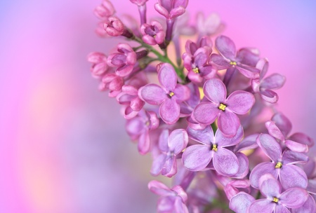 Close-up of lilac on pastell background photo