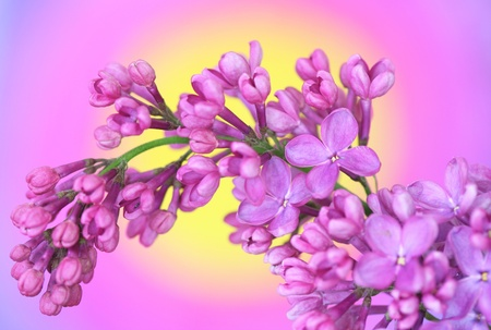 Close-up of lilac on colourful background Stock Photo - 13546461