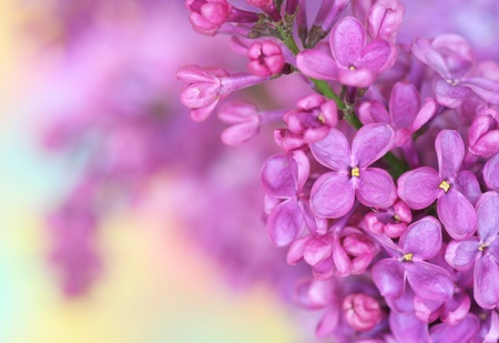 Close-up of lilac on pastel background Stock Photo - 13546451