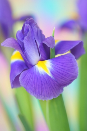 blooming. purple: Close-up of  iris flower