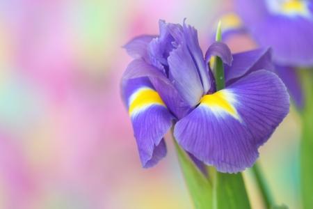 iris fiore: Close-up di fiore di iris