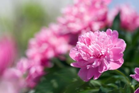 Close-up van roze pioenroos