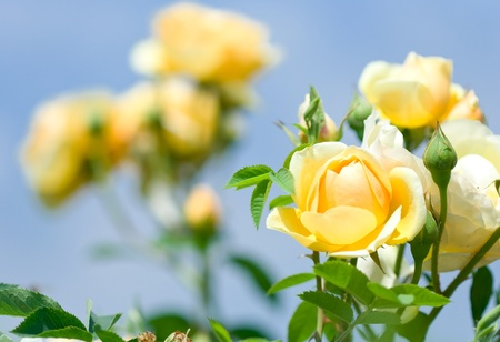 yellow roses: Close-up of garden rose