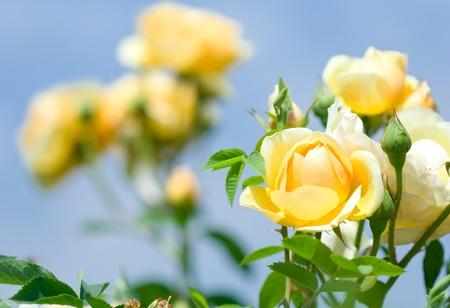 rosas amarillas: Primer plano de Rose Garden Foto de archivo