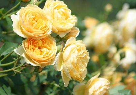 Close-up of garden rose photo