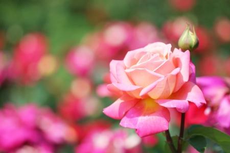 rose bush: Close-up of garden rose