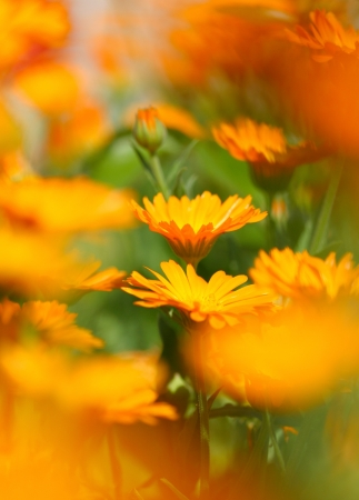 Close-up of  marigold flower photo