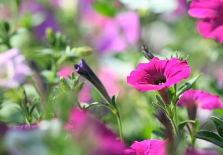 Close-up of petunia flower Stock Photo
