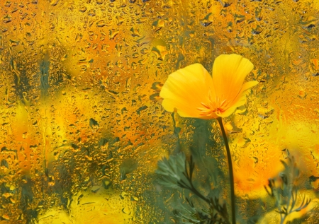 Close-up of  California Poppy under wet glass. Autumn background. photo