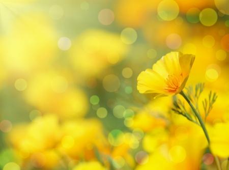 summer flowers: Close-up of California Golden Poppy flowers.Summer background.